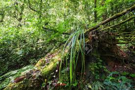 Plants That Grow In Tropical Rainforests Wild Tropical Plant Growing In Deep Mossy Rain Forest Doi