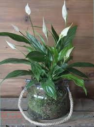peace lilly peace plant roots floral designs bristol