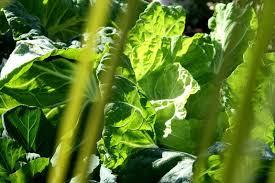 cuisiner un chou vert chou frais en choucroute de poisson la cuisine du jardin