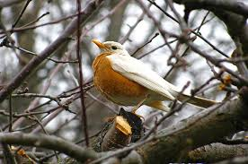 Birds In Your Backyard All About Albinism In Birds Birds And Blooms