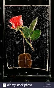 rose in water in glass in bubble underwater flower stock photo