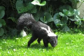 it strikes me funny by g harrison busy wee skunk