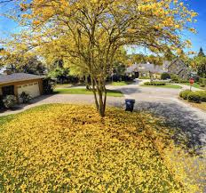 tabebuias in central florida erupt in yellow blossoms orlando