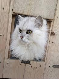 lexus kaykay youtube chinchilla cat kittens pinterest chinchillas cat and animal