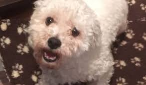 bichon frise dogs for adoption george u2013 9 month old male bichon frise dog for adoption