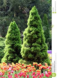 coniferous trees royalty free stock photos image 16242668