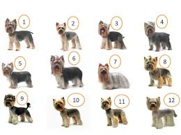 haircuts for yorkie dogs females different yorkie haircuts yorkies pinterest yorkie haircuts