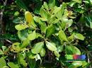 Image result for Avicennia officinalis