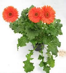 gerbera plant buy gerbera orange color flowering plant online at best prices in