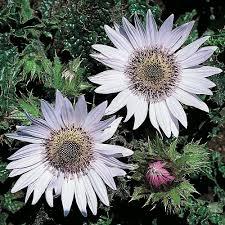 perennial u0026 biennial seeds thompson u0026 morgan