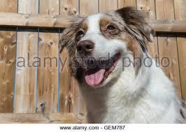 australian shepherd nose dog australian shepherd aussie blue merle walking with a