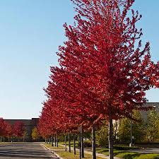 american maple tree for sale fast growing trees