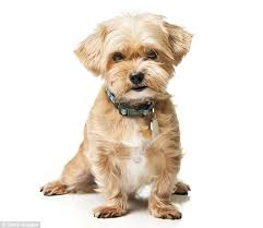 shorkie haircut photos designer dogs rise eightfold in a decade so can you tell a