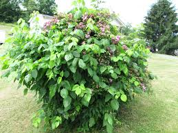 Getting Rid Of Poison Ivy What Grows There Hugh Conlon
