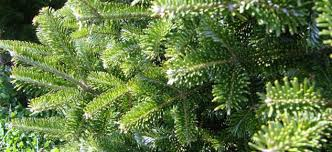 wholesale fraser fir christmas trees and wreaths