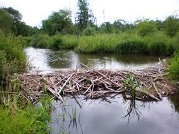 file beaver dam on smilga jpg wikimedia commons