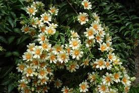 flower pro ora pro nobis pereskia aculeata mygarden org
