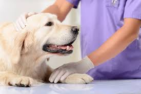 of the skin blood vessels in dogs symptoms causes diagnosis