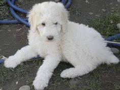 australian shepherd and poodle handsome aussiedoodle australian shepherd poodle lovey bits