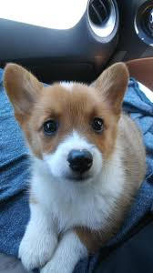 The Queen S Corgis by Arya Came Home Yesterday We Are Proud Parents Of A New Puppy At
