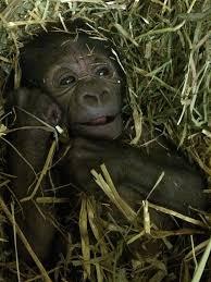 Gorilla by Baby Gorilla Keeper Blog