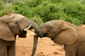 file elephants mating ritual 2 jpg wikimedia commons