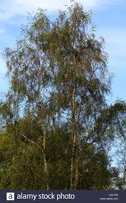weeping birch stock photos weeping birch stock images alamy
