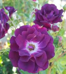 purple roses purple roses northland rosarium
