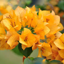 blooming plants hot sale unique new blooming plants yellow bougainvillea