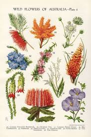 best australian native plants for pots and containers gardening best 25 australian flowers ideas on pinterest australian native