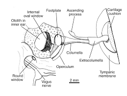 Ear Anatomy And Function Function Of The Sexually Dimorphic Ear Of The American Bullfrog