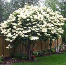 city of grande prairie alberta japanese tree lilac