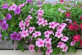 Vinca Flower Information - flower ideas archives u2014 page 2 of 2 u2014 marifarthing blog