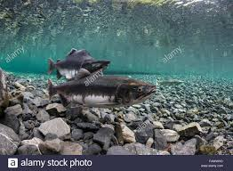 pink salmon oncorhynchus gorbuscha probes her redd while her