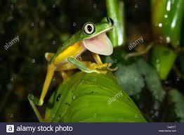 lemur leaf frog agalychnis hylomantis lemur yawning stock