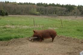 turkey pigs oh my pete and jen u0027s backyard blog