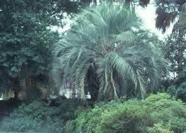 you can grow palms in louisiana