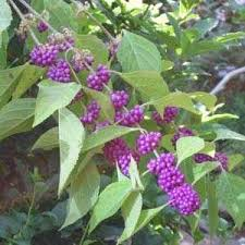 buy climbing plants trellis climbers