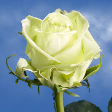 roses online buy roses online pale green global