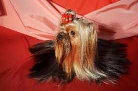 yorkie haircuts for a silky coat how to moisturize a yorkie s coat pets