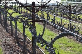 naggiar vineyards danielle dishes the dirt u2026the vineyard dirt