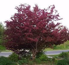 Profusion Flowering Crabapple - crabapple gammon u0027s garden center u0026 landscape nursery