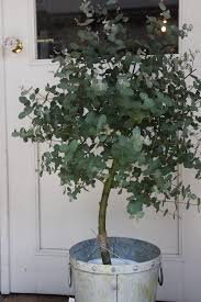 Fragrant Indoor Plants Low Light Grow Eucalyptus Outdoors Plants And Gardens