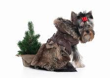 tree yorkie puppy stock images 42 photos
