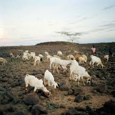 climate change makes goat meat tough in kenya thanks to drought