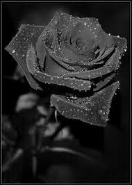 black roses black beauty that does not exist