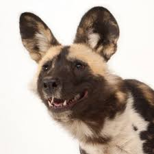 Dog Hair Loss On Back African Wild Dog National Geographic