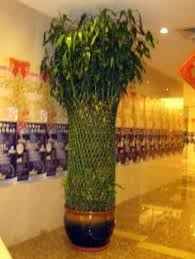 how to take care of lucky bamboo pinteres