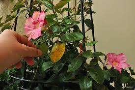 Mandevilla Plant Diseases - mandevilla disease home blog