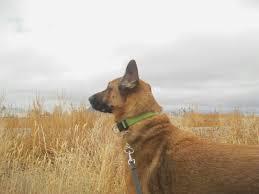 belgian sheepdog idaho wind songs remnants of a life
